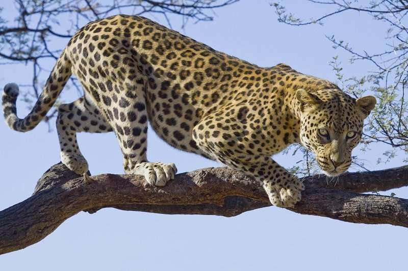 Jaguar on Tree - C02172