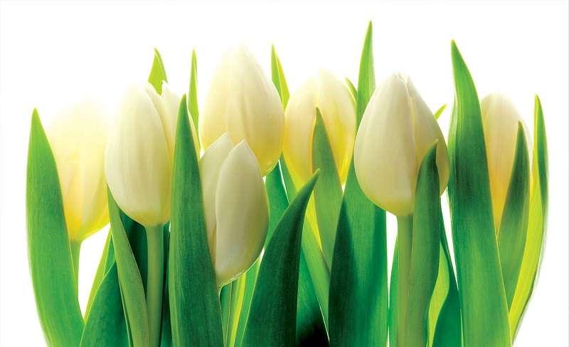 White Tulips - C0417