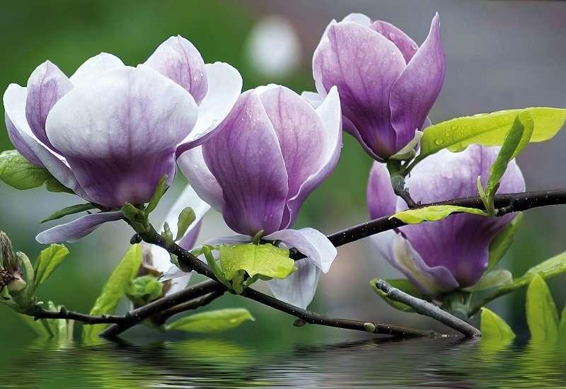 Magnolia Zen - C04189