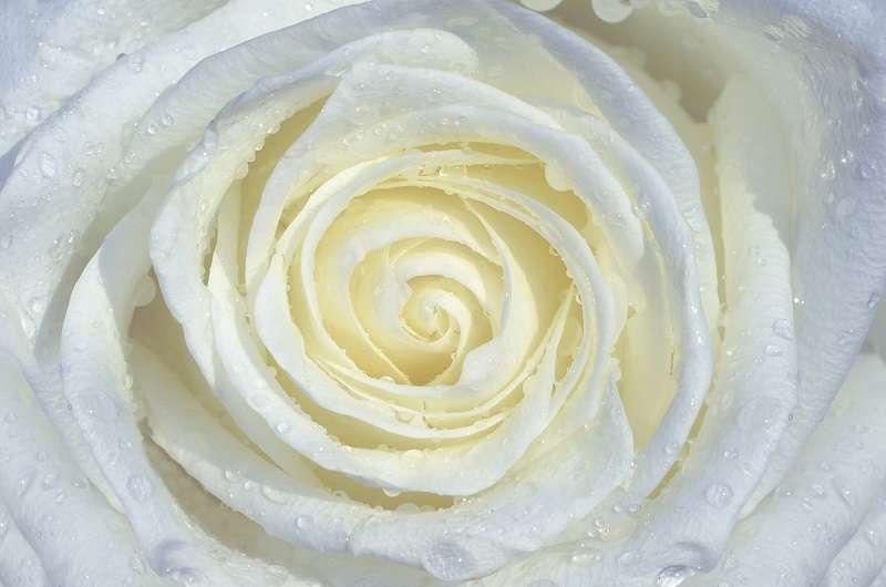 White Rose - C0420