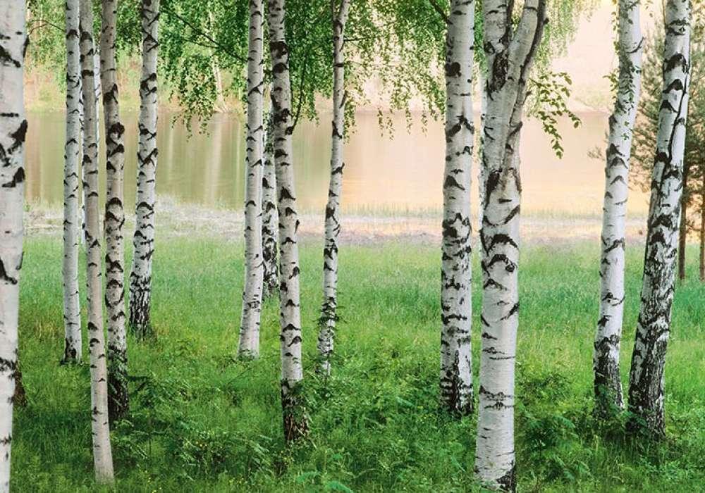 Birch Forest - 0808