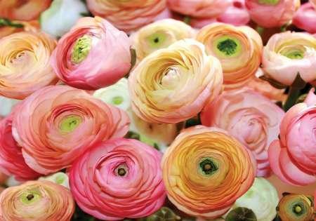 Pink Roses  - C0260