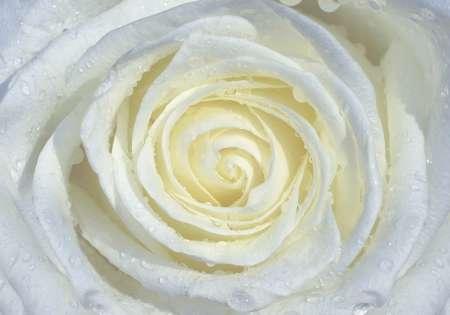 White Rose - C0217