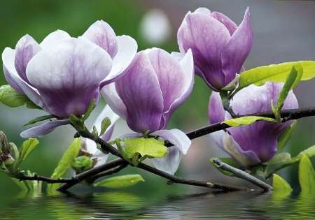 Magnolia on Water - C0234