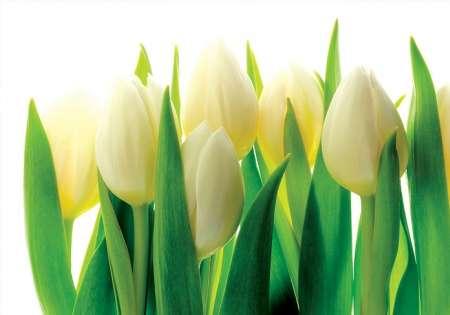 White Tulips - C0235