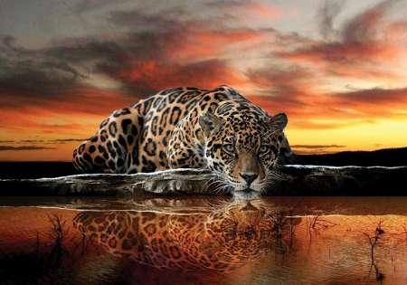 Jaguar - C0466