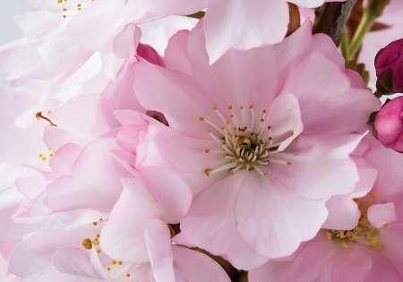 Blossom - C0415