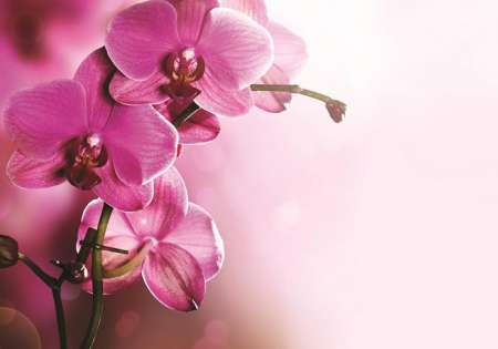 Pink Orchid - C0425