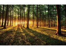 Forest Sunrise - C0283
