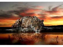 Jaguar - C0242