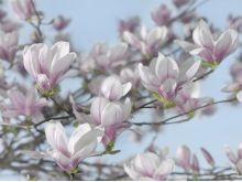 Magnolia - K833