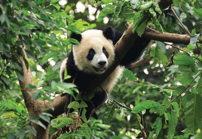 Фототапет с малка пухкава панда на клон