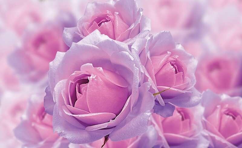 фототапет 3д розова роза