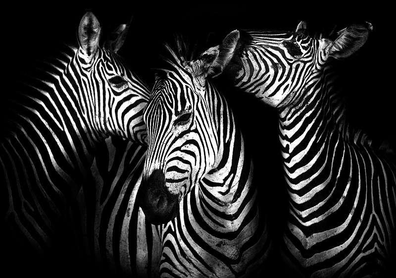 Фототапет със смейство зебри