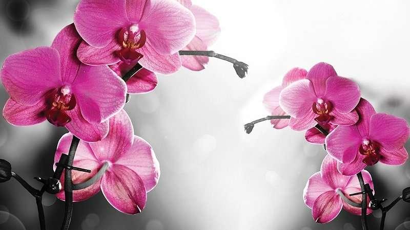 фотототапет розова орхидея на черно-бял фон