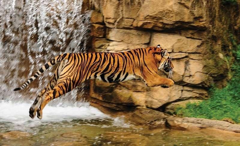 Фототапет с един висок скок на тигър