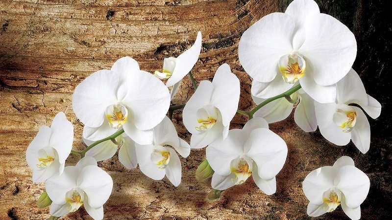 фототапет бяла орхидея вурху дърво