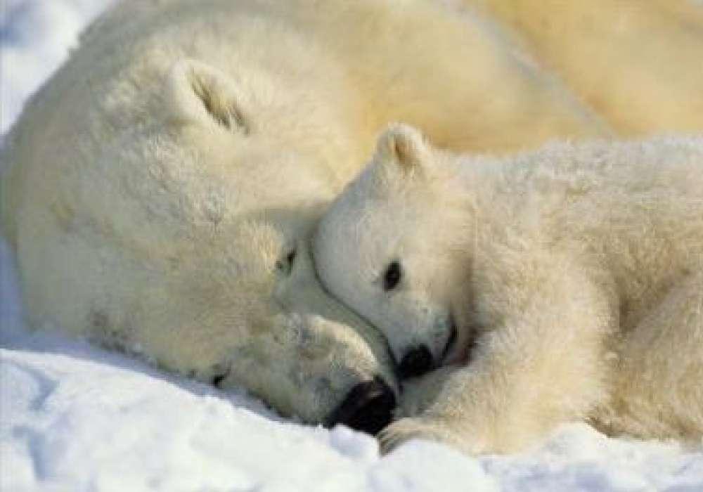 Polar Bears - K107